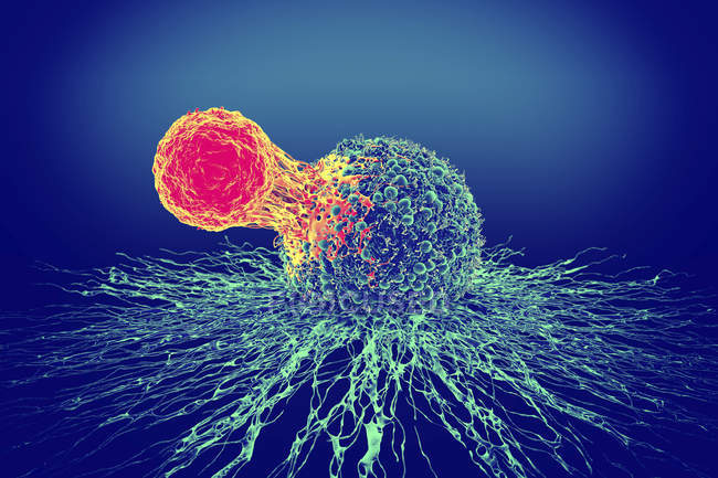 T-cell attached to cancer cell — Stock Photo