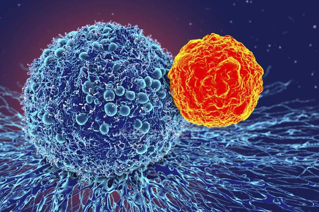 Раковые клетки атакованы Т-клеткой — стоковое фото