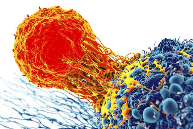 Т-клеток, придает раковых клеток — стоковое фото