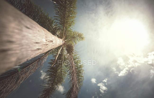 Palmier en plein soleil, vue basse . — Photo de stock