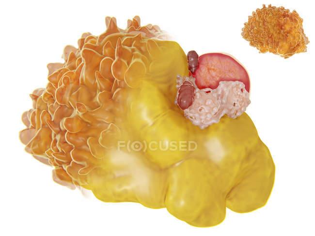 Fat cell anatomy, computer illustration. — Stock Photo   #167535892
