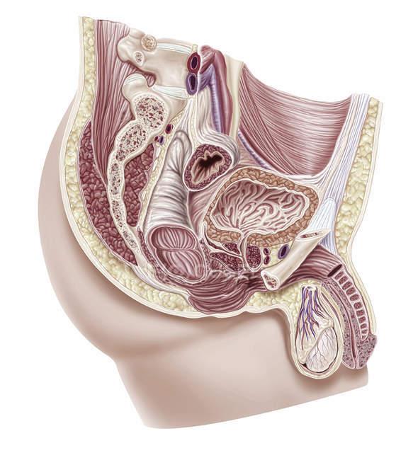 Мужской половой системы, Иллюстрация. — стоковое фото
