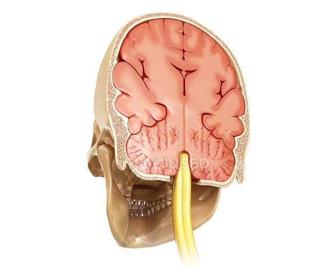 Cerebro humano y sección transversal del cráneo - foto de stock