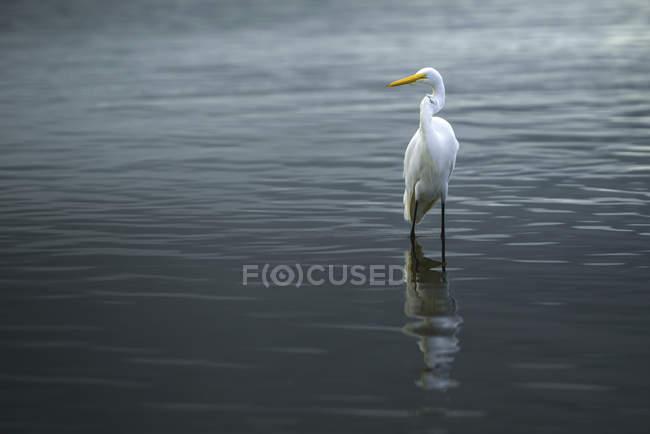 In piedi di Airone bianco in acqua — Foto stock