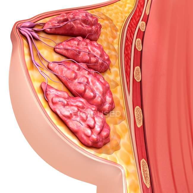 Anatomia del seno femminile — Foto stock