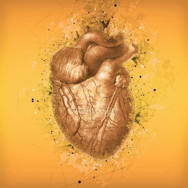Normal human heart anatomy — Stock Photo
