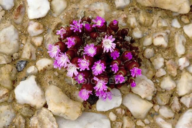 Enano flor de piedra - foto de stock