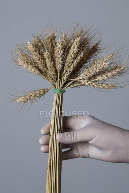 Hand in latex glove holding bunch of wheat. — Stock Photo