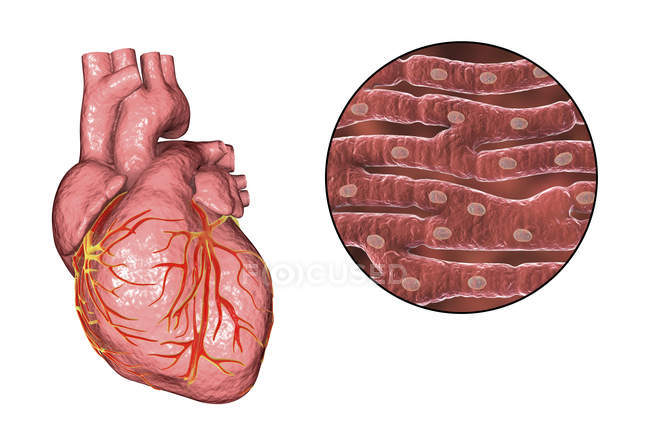 Digital illustration of human heart and cardiac muscles — Stock ...