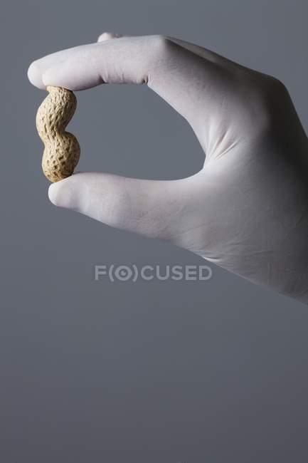 Рука об латексні рукавички, проведення арахісу — стокове фото
