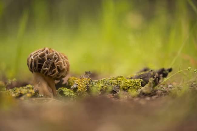 Морель гриб растет в лесных почвах — стоковое фото