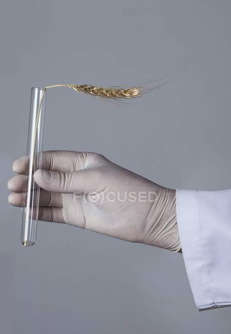 Hand in latex glove holding test tube with ear of wheat — Stock Photo