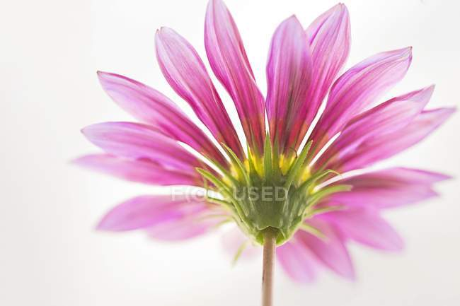 Close-up of Gerbera flower on white background. — Stock Photo
