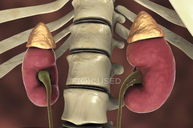 Ilustración digital de riñones humanos con glándulas suprarrenales y uréteres . - foto de stock