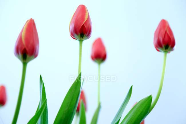 Gros plan de fleurs de tulipes rouges sur fond bleu . — Photo de stock
