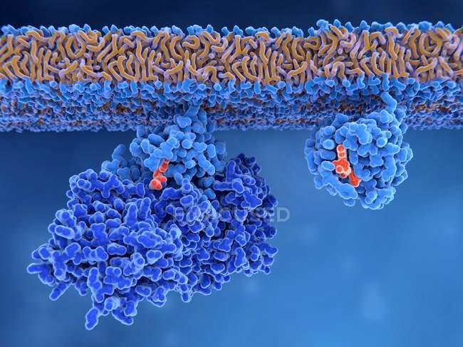 Activación de proteínas Ras, ilustración digital . - foto de stock