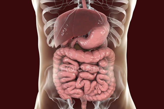 Digitale Illustration des Verdauungssystems im menschlichen Körper — Stockfoto
