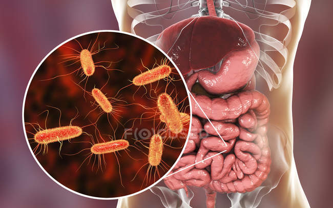 Digital illustration of human digestive system and close-up of Escherichia coli bacteria. — Stock Photo