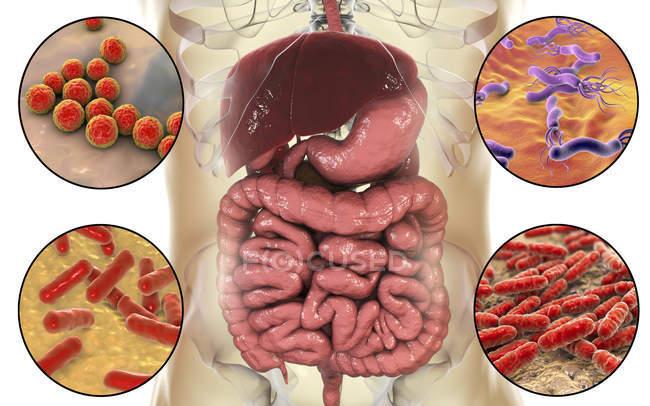 Varias bacterias en el intestino humano, ilustración digital . - foto de stock