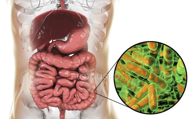 Digital illustration of Bifidobacteria in human intestine. — Stock Photo