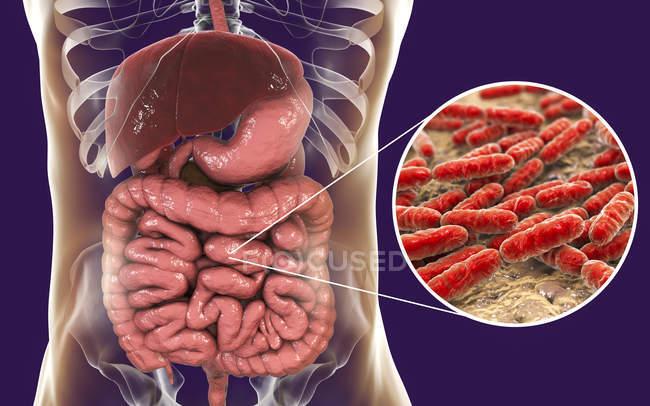 Illustrazione digitale dei batteri Lactobacillus nel corpo umano . — Foto stock