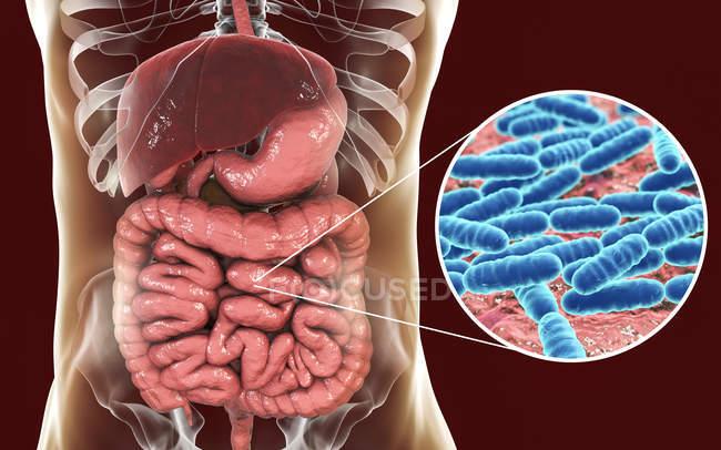 Ilustración digital de la bacteria Lactobacillus en el cuerpo humano . - foto de stock