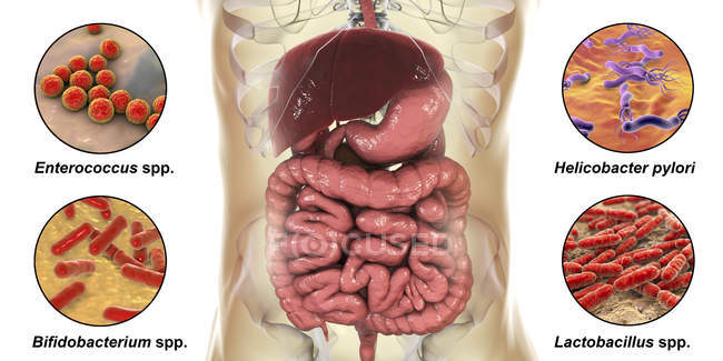 Diverses bactéries dans l'intestin humain, illustration numérique — Photo de stock