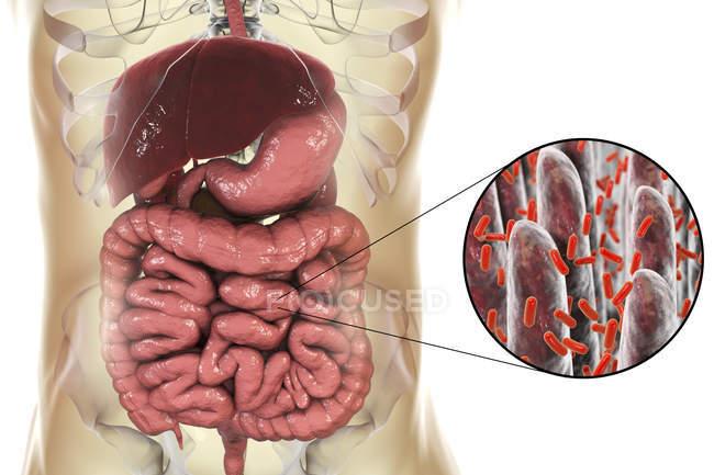 Illustration numérique du système digestif humain et gros plan des bactéries intestinales — Photo de stock