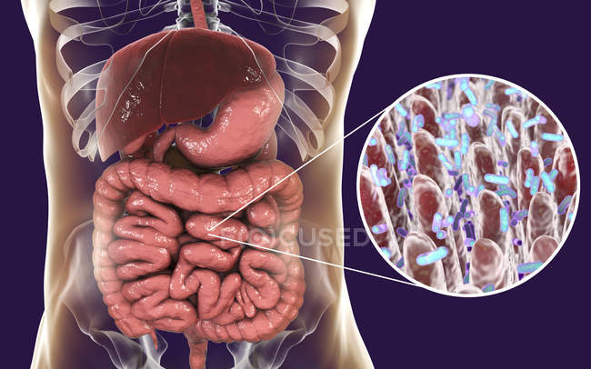 Digital illustration of human digestive system and close-up of intestinal bacteria. — Stock Photo