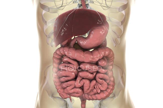 Ilustración digital del sistema digestivo en el cuerpo humano . - foto de stock