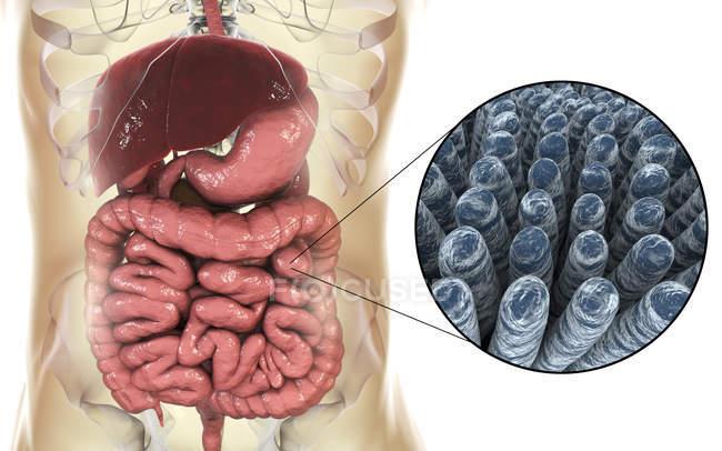 Illustration numérique du système digestif humain et gros plan des villosités intestinales — Photo de stock