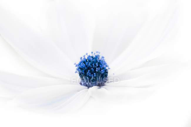 Close-up of white flower with blue center. — Stock Photo