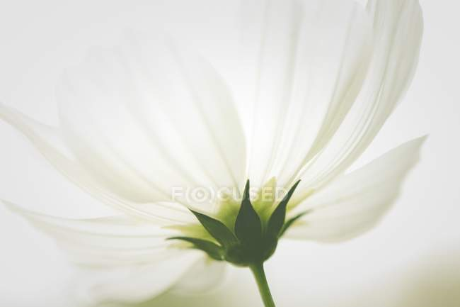 Close-up of underside of white flower. — Stock Photo