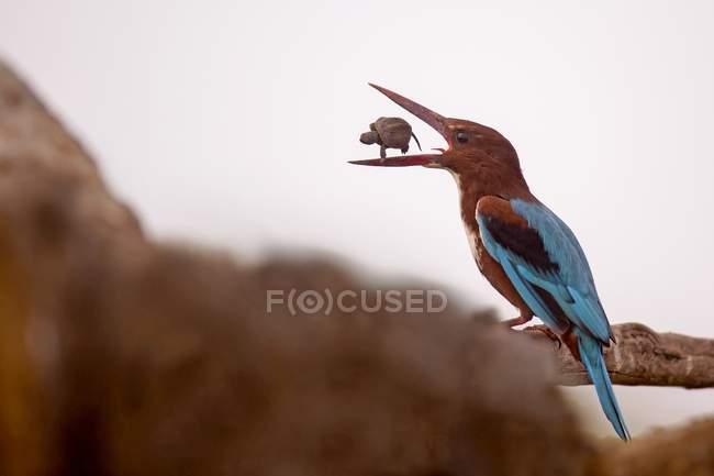 White-throated kingfisher con tortuga en pico sobre rama de árbol. - foto de stock