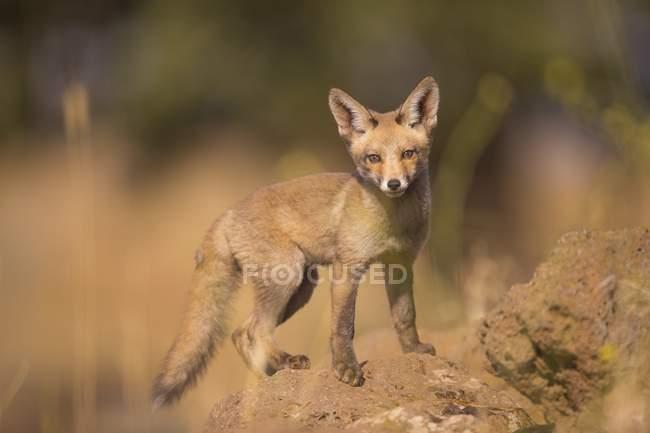 Em pé juvenil red fox em pedra no selvagem. — Fotografia de Stock