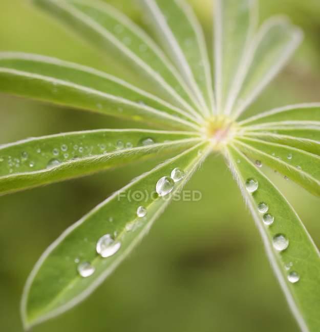 Gouttes de pluie sur les feuilles vertes, gros plan. — Photo de stock
