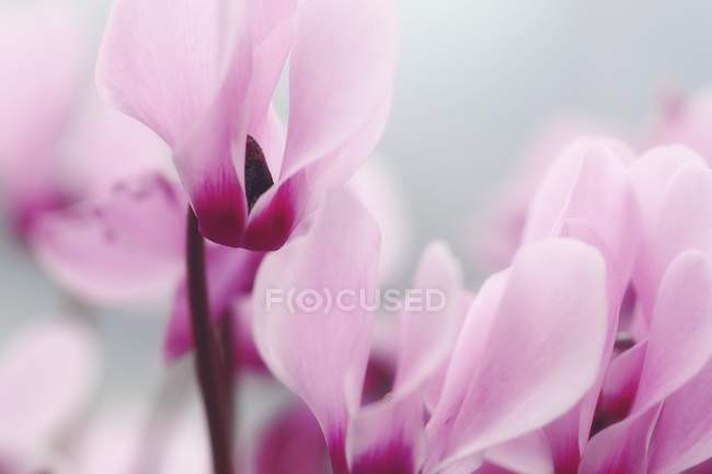 Flowering Persian violet perennial plants, close-up. — Stock Photo