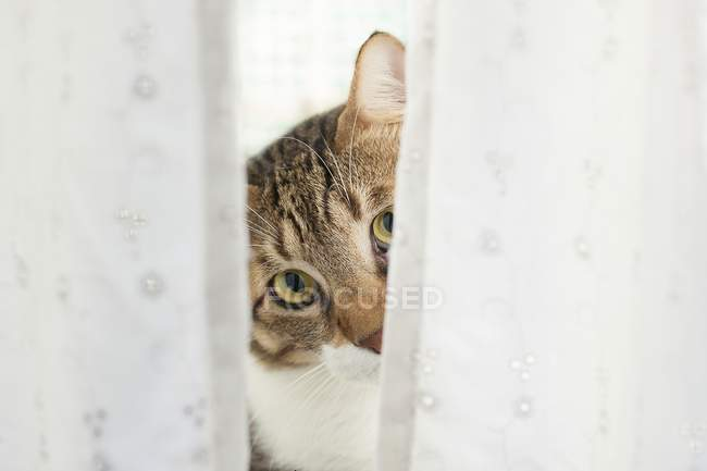 Tabby cat looking out from behind curtain. — Stock Photo