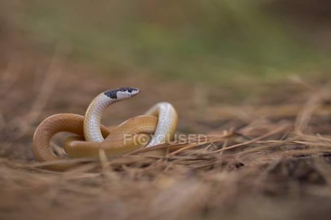 Serpiente de cabeza negra tierra en ramitas. - foto de stock