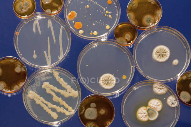 Pattern of cultures growing in Petri dishes on plain background. — Stock Photo