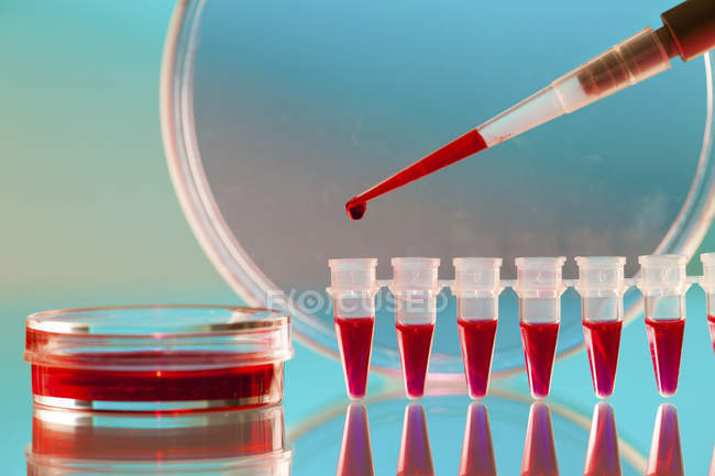 Close-up of micropipette pipetting blood sample into microcentrifuge tubes. — Stock Photo
