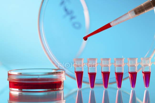 Close-up de micropipeta pipetagem amostra de sangue em tubos de microcentrifugação . — Fotografia de Stock