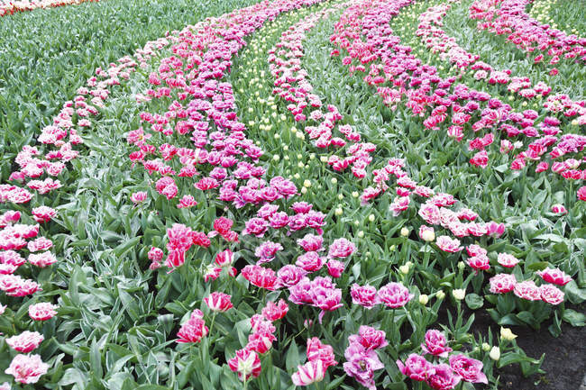 Flowerbed of pink tulips, full frame. — Stock Photo