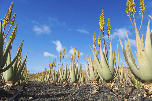 Aloe vera plants growing in farm. — Stock Photo