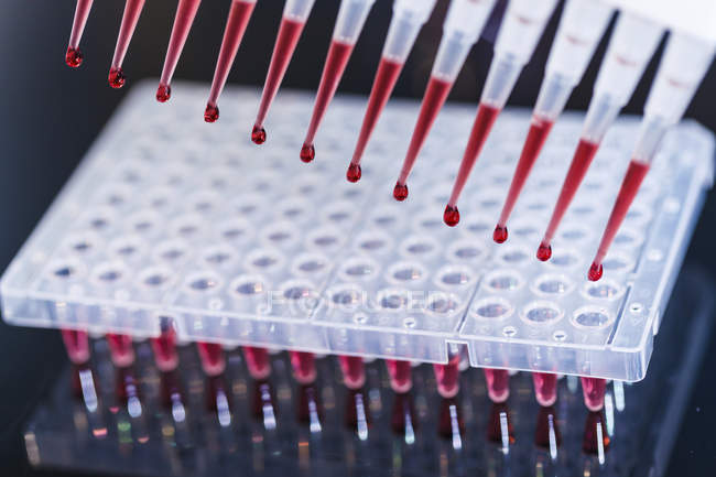 Multichannel pipette pipetting into rack of tubes. — Stock Photo