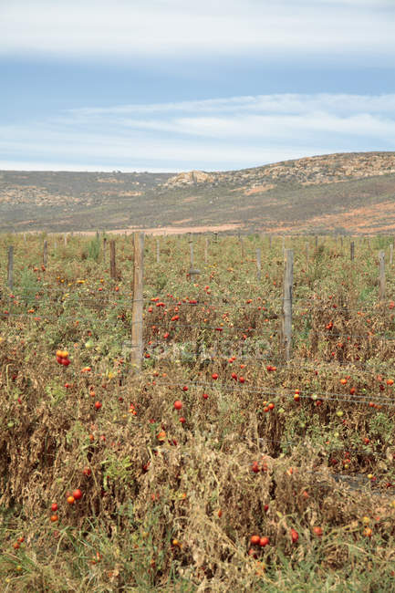 Tomato crops affected by drought near Klawer, Western Cape, South Africa. — Stock Photo