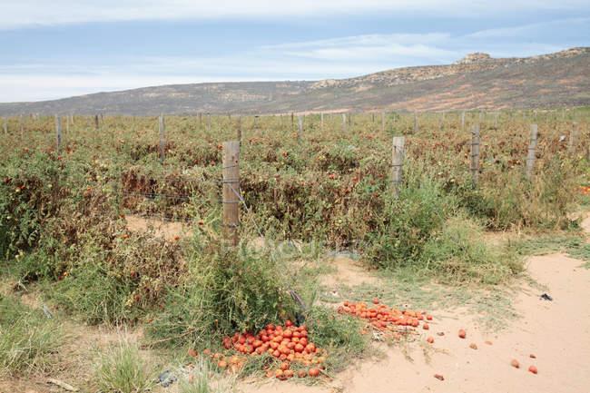 Tomaten Pflanzen Trockenheit in der Nähe von Klawer, Western Cape, Südafrika. — Stockfoto