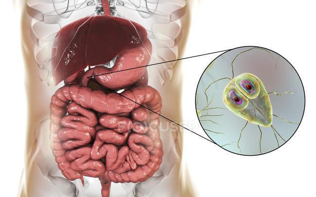 Giardia lamblia solo-celled protozoario parásito en duodeno humano, arte digital. - foto de stock