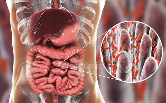 Obra de arte do sistema digestivo humano e close-up de bactérias no intestino delgado . — Fotografia de Stock