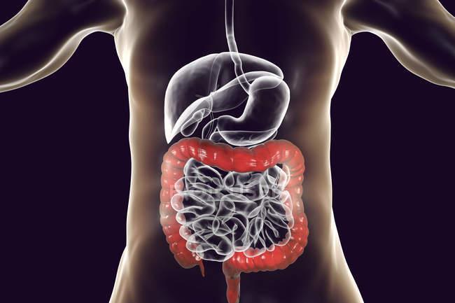 Ilustración digital del intestino grueso humano sobre fondo negro . - foto de stock